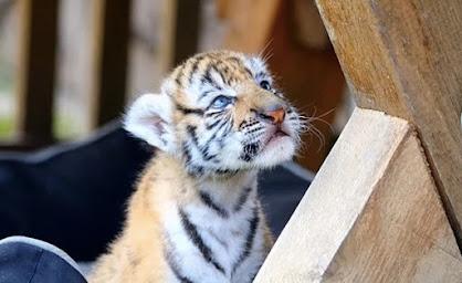 Anak kucing harimau Sumatera