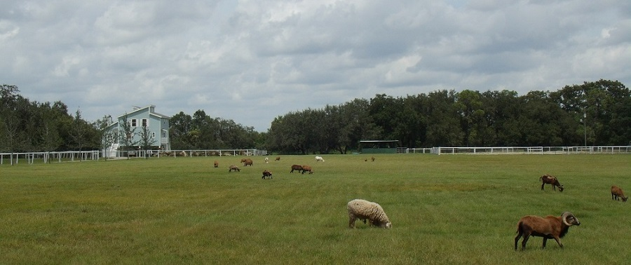 Cabras y ovejas en la SR 78