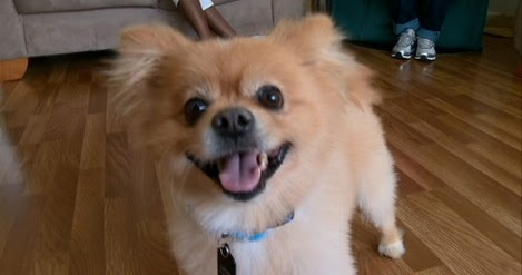 lion pomeranian lost dogs found lion pomeranian 5632