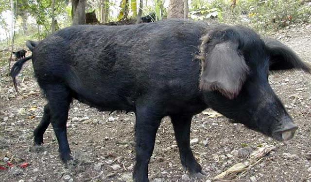 babi ngepet