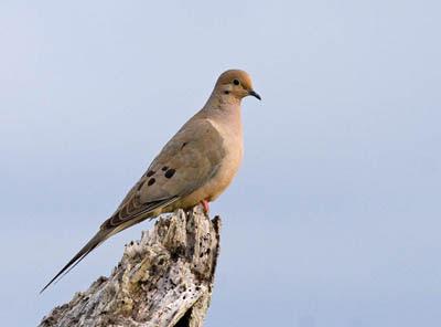 Photo of Mourning Dove on tree stump