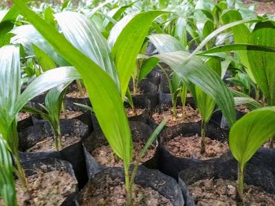 bibit kelapa sawit umur tiga bulan pranursery