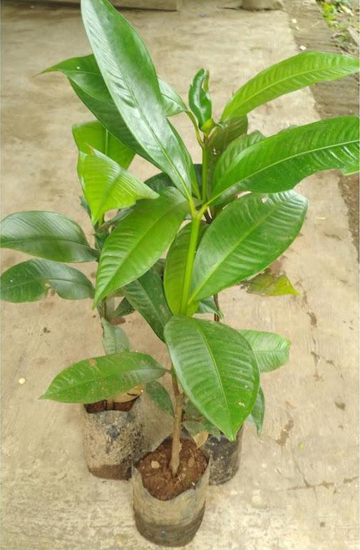 Bibit Tanaman Manggis Super Lhokseumawe