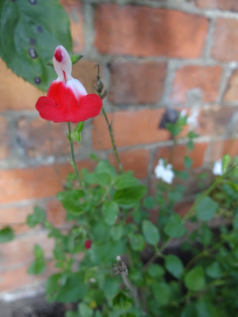 salvia hot lips in garden