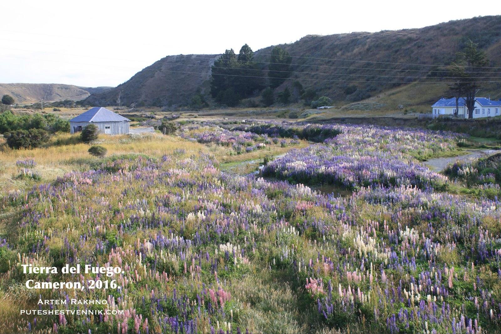 Цветы люпина в поле на Огненной Земле