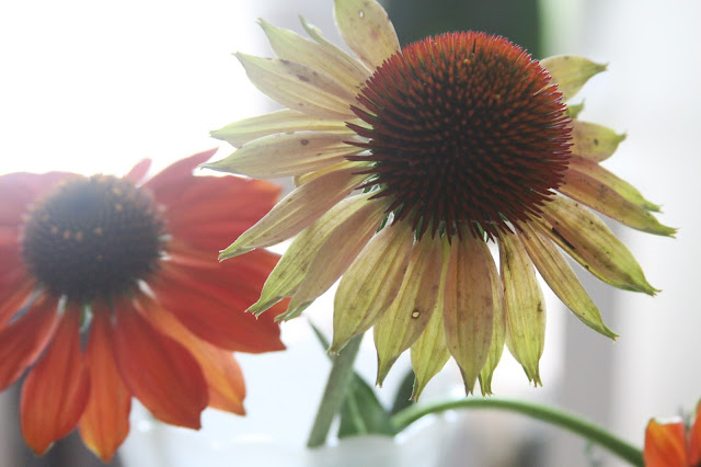 flowers, coneflowers, echinacea, summer flowers, Anne Butera, My Giant Strawberry