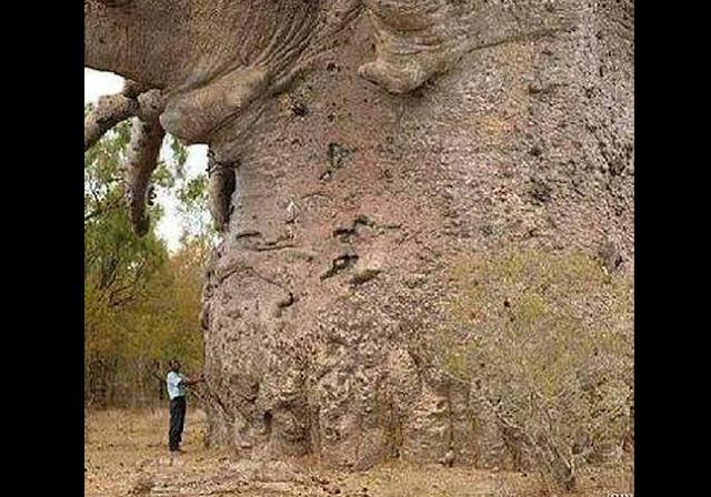 L'albero più vecchio della Terra? È in Tanzania.