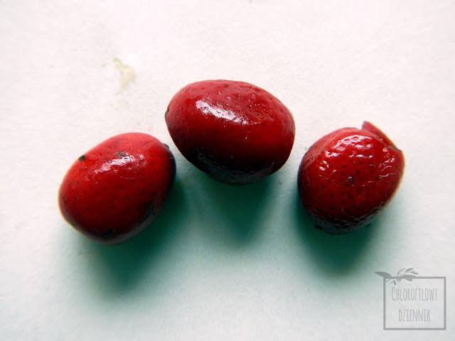 Murraja wiechowata (Murraya paniculata) - inne nazwy -orange jessamine/jasmine orange (pomarańczowy jaśmin), mock lime (limonkowy jaśminowiec) czy chinese box (chiński bukszpan). Opis, nazewnictwo, uprawa, występowanie, historia, pochodzenie, liście, kwiaty, owoce, siew z nasiona, z pestki. Jak rośnie murraja w naturze, jak hodować murraję w domu w doniczce, uprawa domowa, rośliny do wnętrz, ciekawostki botanicze, ciekawe rośliny spokrewnione z cytrusami.