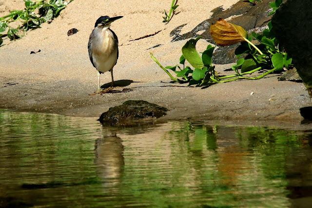 green backed heron adult, butorides striata