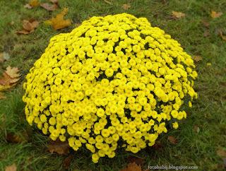 http://fotobabij.blogspot.com/2015/04/chryzantema-appro-yaune-chrysanthemum.html