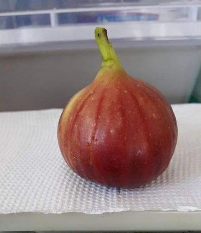 Bibit buah tin merah jumbo TGF jumbo fresh cangkok Sulawesi Selatan