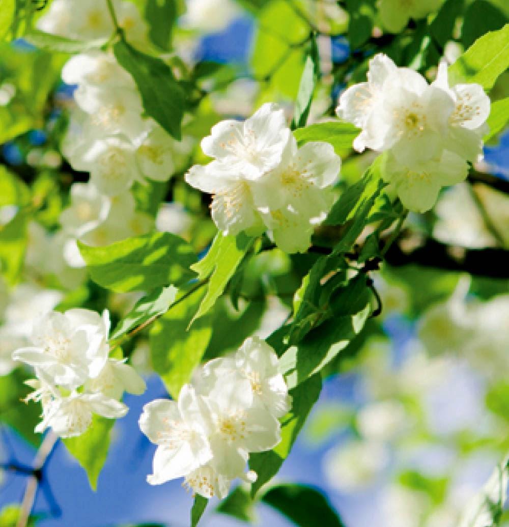 Kumpulan Gambar Bunga Melati yang Indah dan Cantik:Blog Bunga