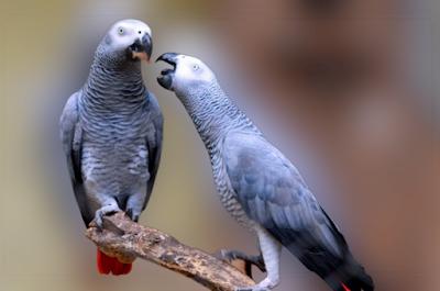 African Grey Parrot breeding