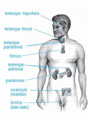 Gambar Hormon Pada Manusia : gambar, hormon, manusia, Sistem, Endokrin, Manusia, (Pengertian,, Organ,, Fungsi), Artikel, Materi