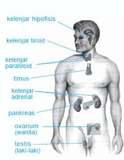Sistem Endokrin Pada Manusia (Pengertian, Organ, Fungsi)