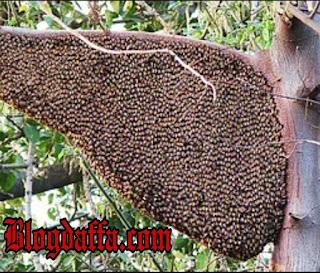 Lebah Madu Apis Dorsata