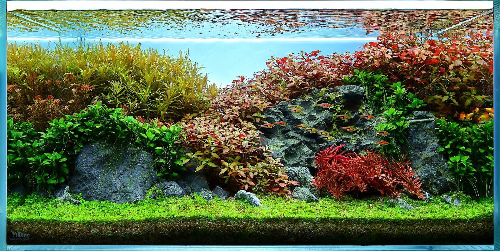 Một bố cục hồ thủy sinh dùng nhiều ráy nana ở góc bên trái