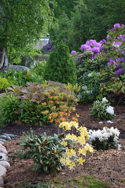 Rododendron och azaleor