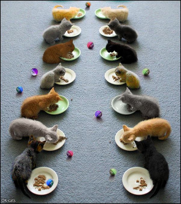 Photoshopped Cat picture • Lunch time for 14 kittens, all together! Om Nom Nom gang in action.