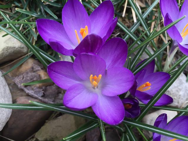 purple flowers in march