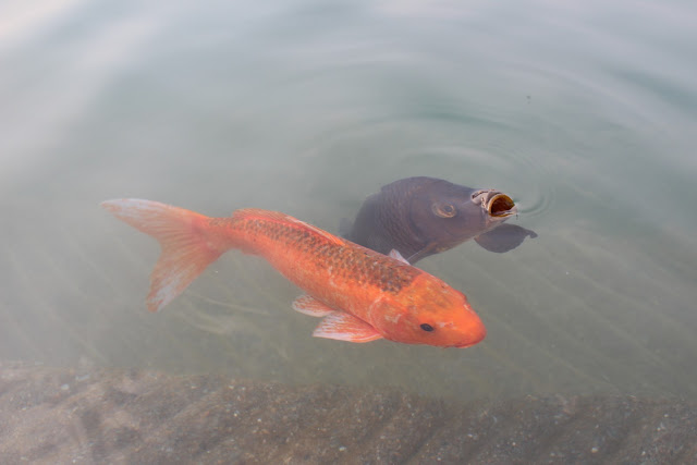 Golden Temple, holy lake, fishes