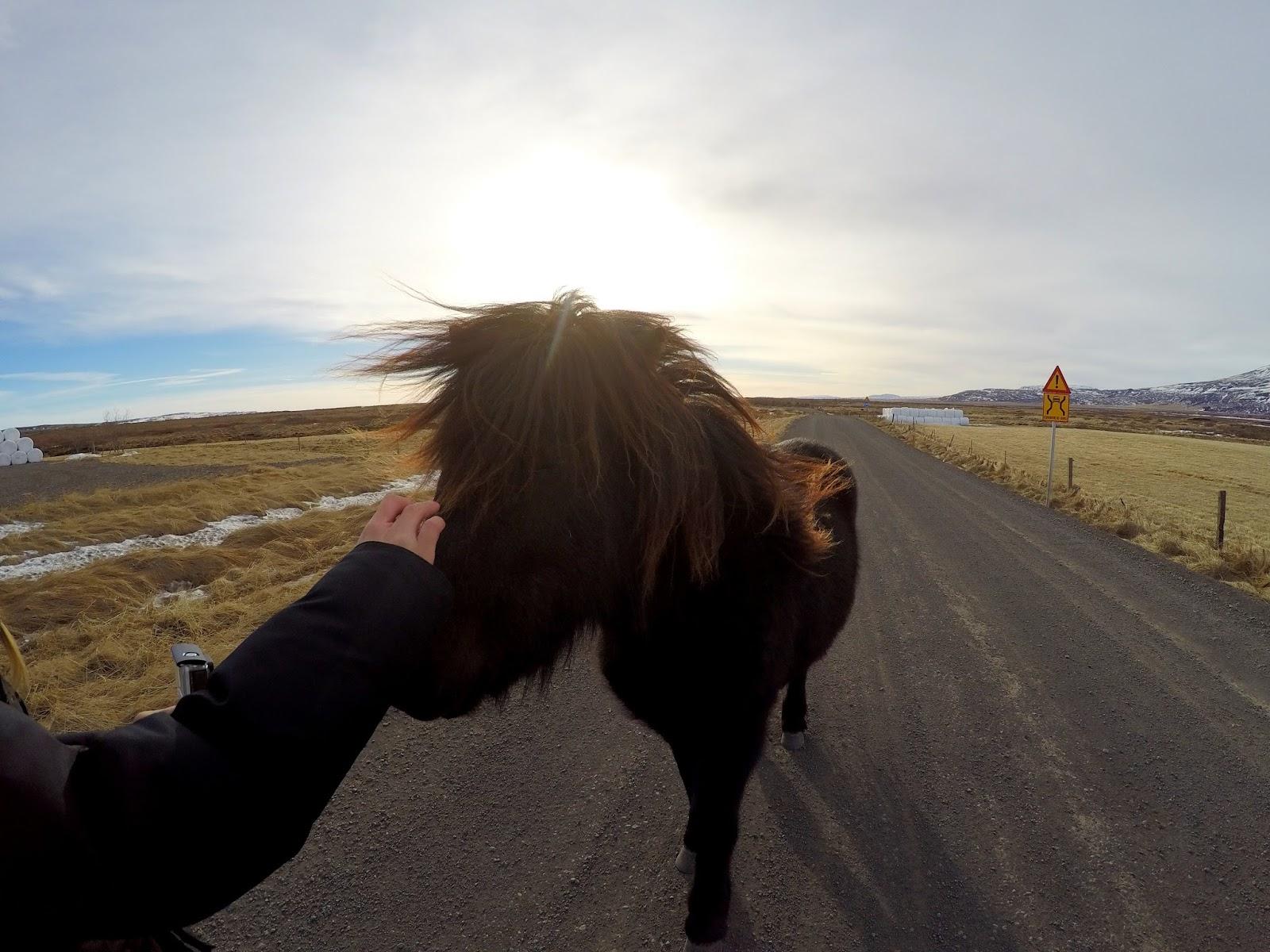 Islandzkie kuce