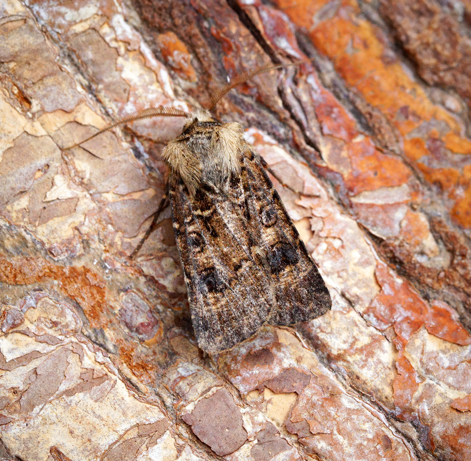 Herts Moth Blog: Garden Catch 26/06/18 - Common but welcome