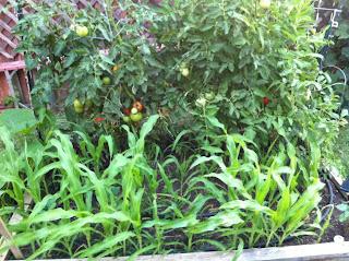 The garden has vegetables growing.