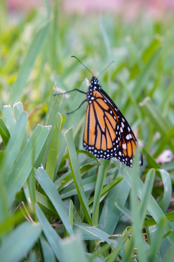 monarch butterfly drying wings in grass