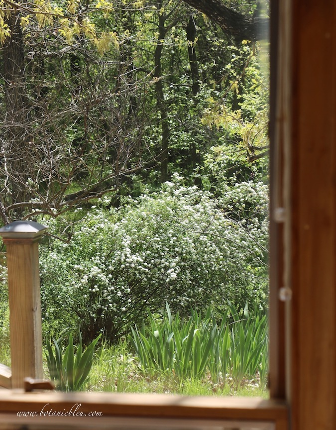 The large white bridal wreath spirea shrub is visible out the windows from the French Country breakfast table
