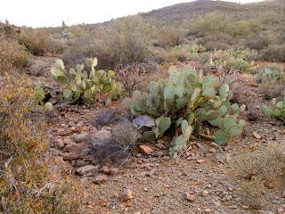 prickly pear cactus in saguaro national park