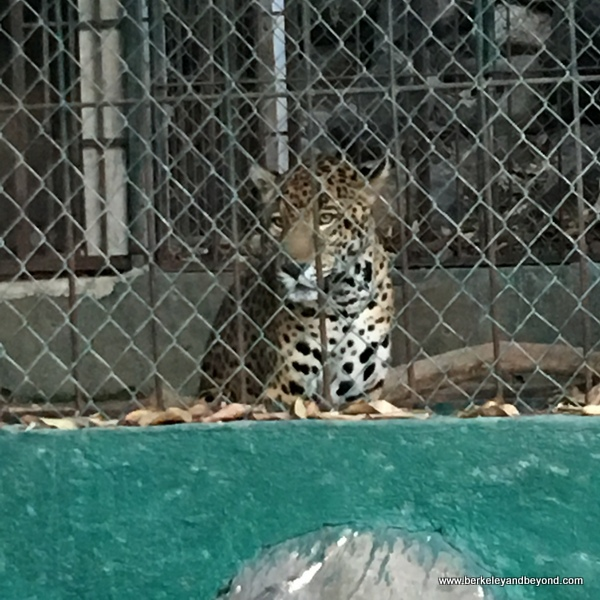 leopard at the Kiekari Crocodile Farm rescue center at La Tovara Nature Reserve in San Blas, Mexico
