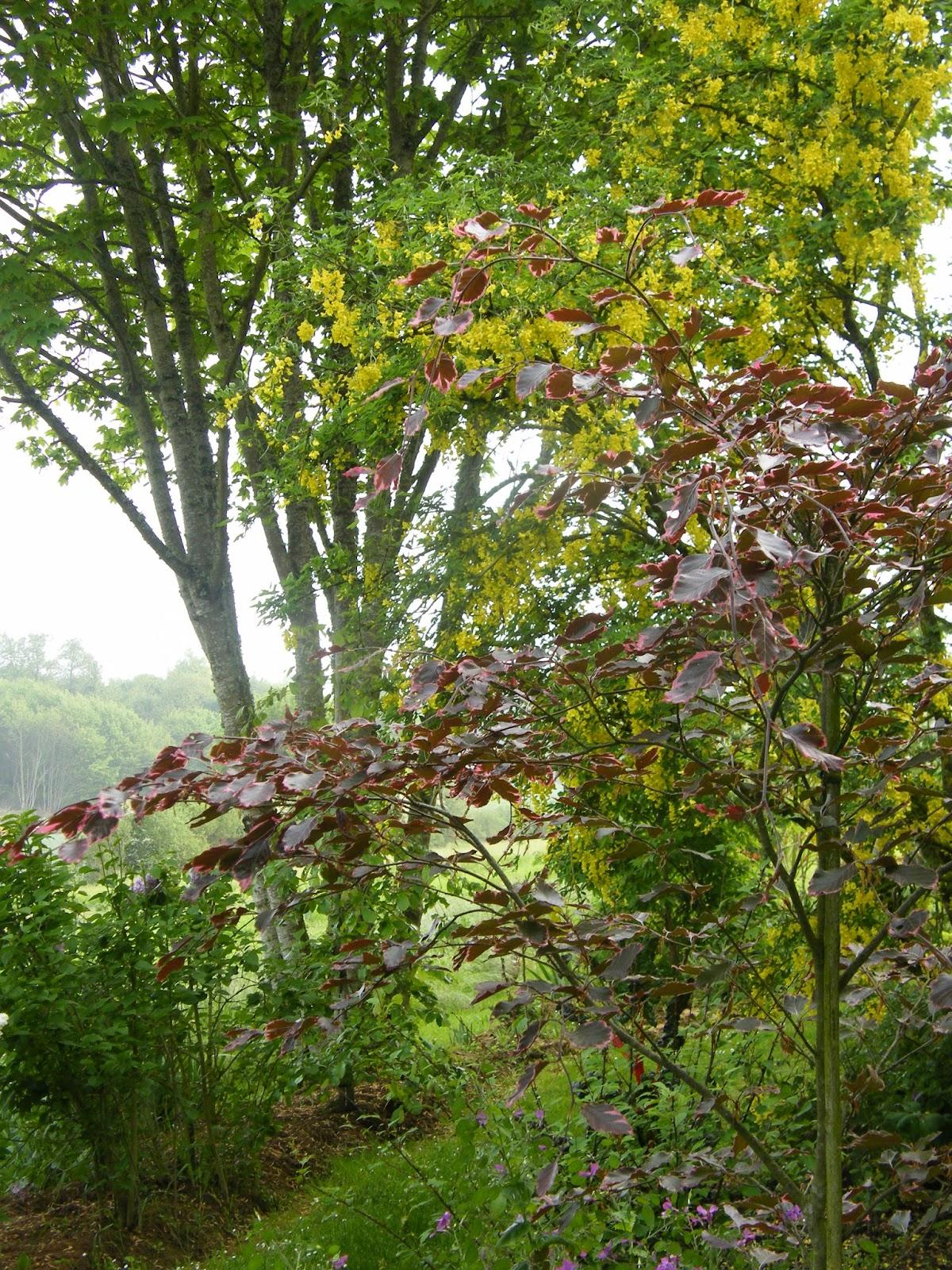 Au gr du jardin etre charm e par le fagus sylvatica - A poil dans son jardin ...