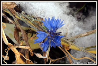 Flower In Snow by Ulrika