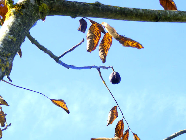 A walnut hanging on the tree. Photo by Loire Valley Time Travel.