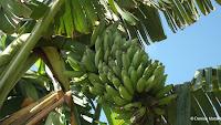 Bananas in tree - Diamond Head Community Garden, Waikiki, HI