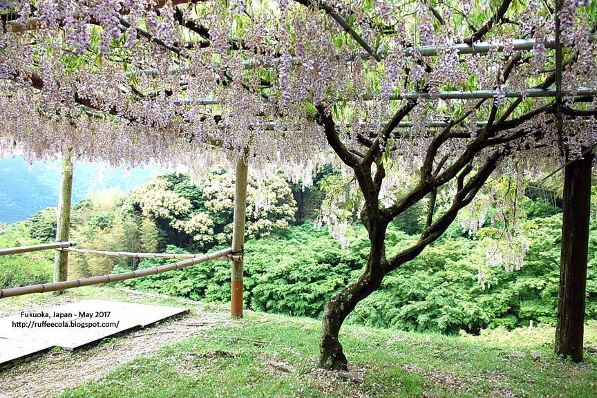 travel tales: Japan: Fukuoka: Wisteria Tunnel in Kawachi Fujien