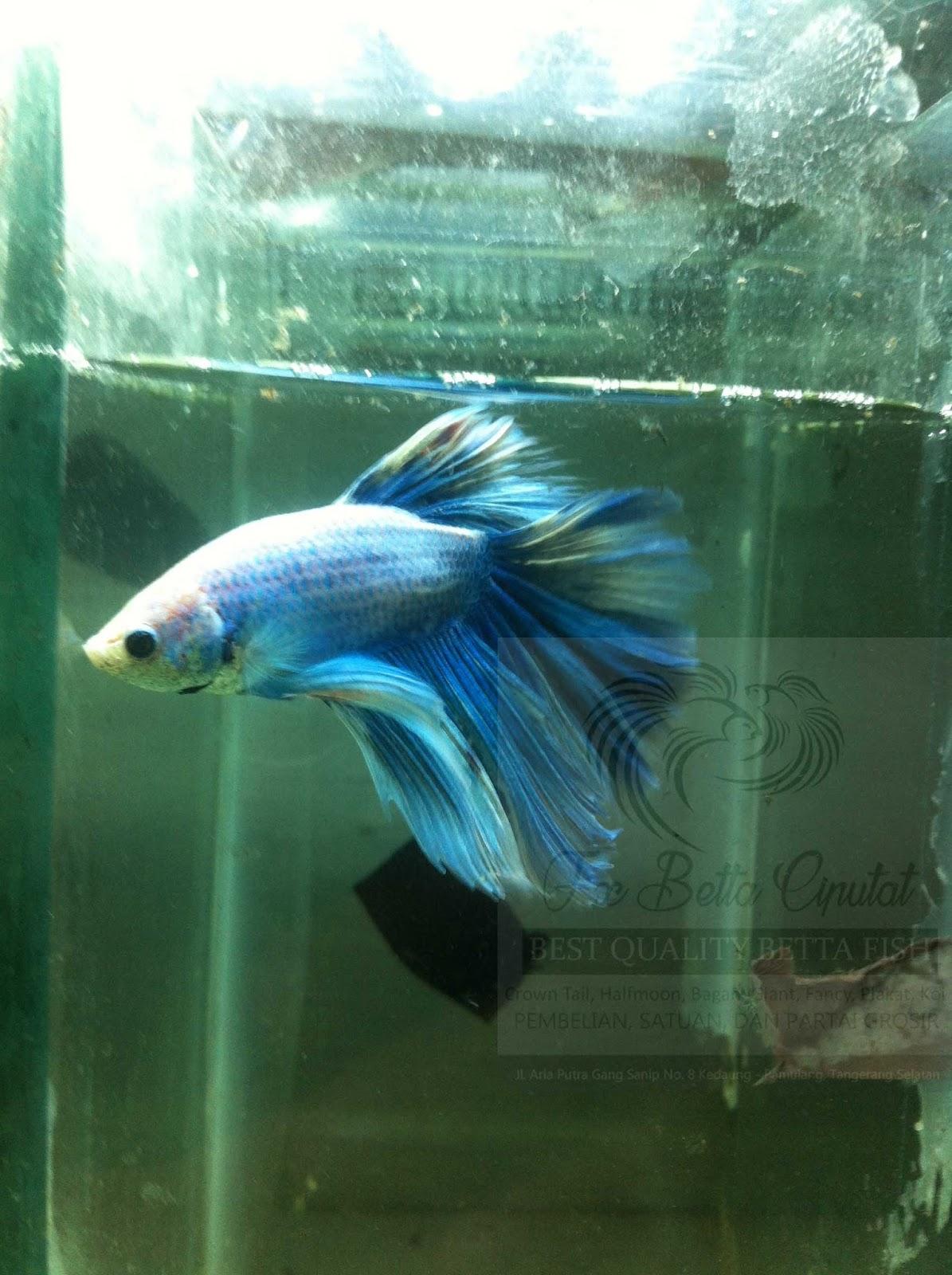 blue%2Bwhite%2Brose%2Btail