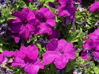 Petunia grandiflora 'Limbo Violet' - Petunia x hybrida gamme Grandiflora