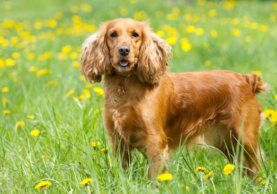 Perros para tener en el hogar