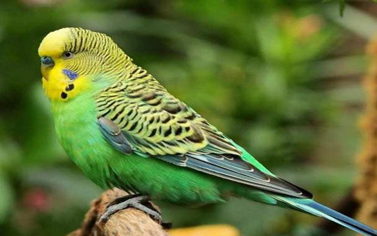 Mengenal Warna Species Pada Burung Parkit Rahasia Saya Melatih Burung Hingga Berkicau Dengan Cepat