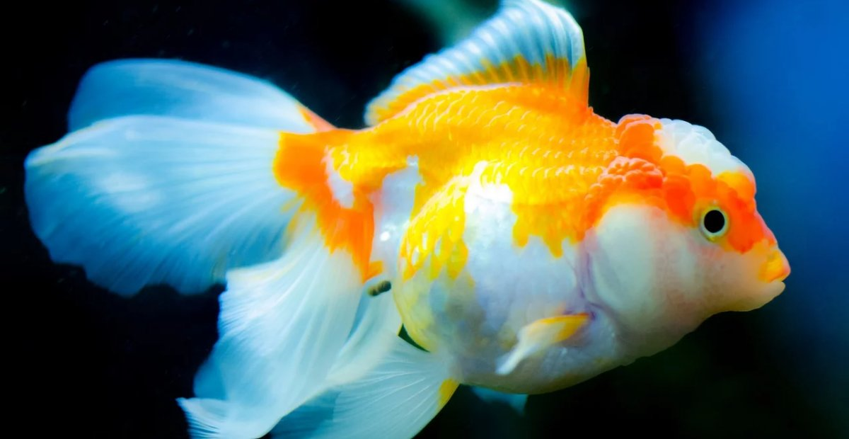 Ikan Mas Koki - Ikan Hias yang Kuat Hidup di Air Tawar