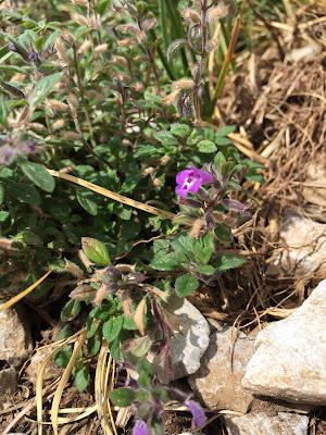 Clinopodium alpinum – Alpine Calamint (Acino alpino).