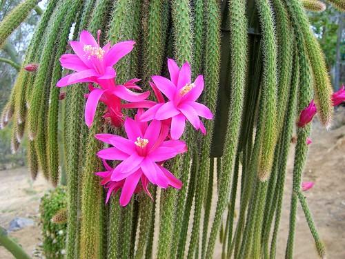 Tanaman Hias Kaktus Sukulen Ekor Tupai Aporocactus Aporocactus Martianus Planter And Forester