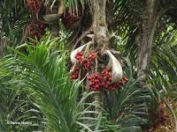 Red fruit on palm tree - Ho'omaluhia Botanical Garden, Kaneohe, HI