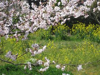 鎌倉山の桜