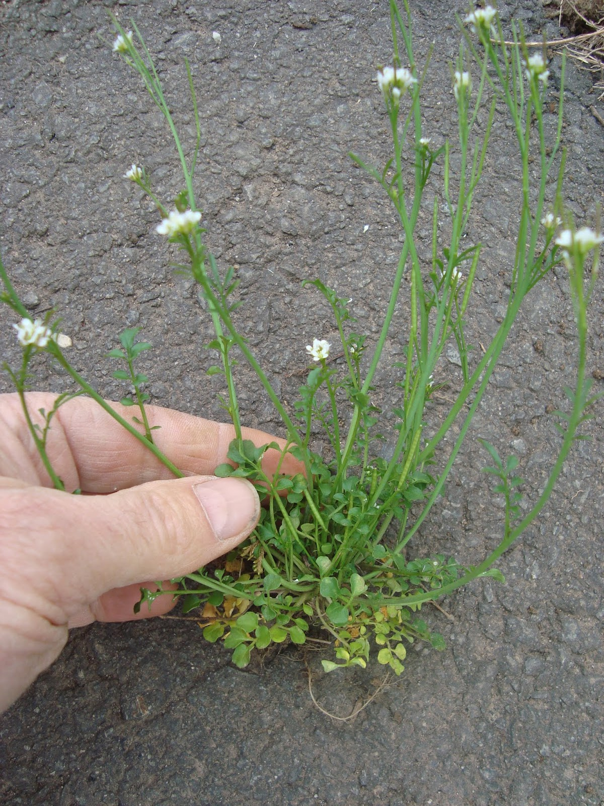 Princeton Nature Notes Random Spring Weed Identification