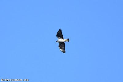 Adult d'àguila cuabarrada (Aquila fasciata)