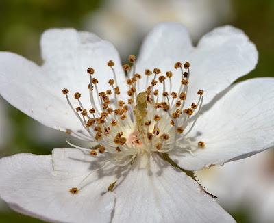 Flor da roseira brava