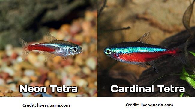 Neon Tetra vs Cardinal Tetra